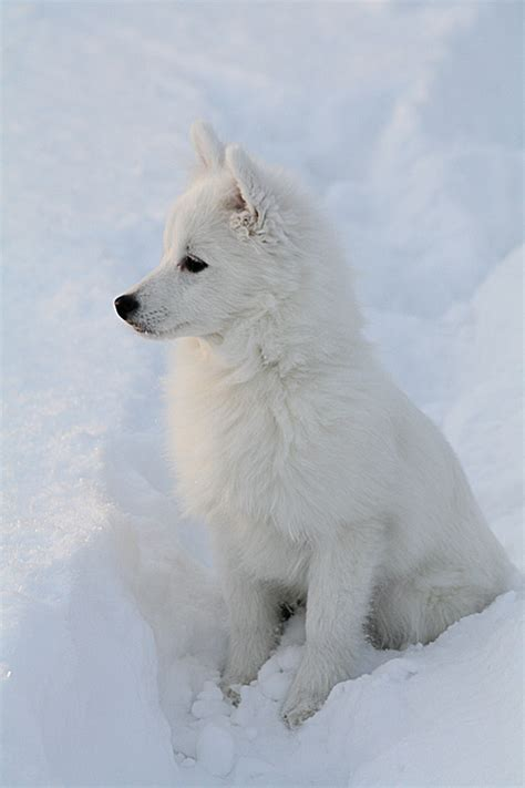 White tiger | We Heart It | snow, wolf, and dog