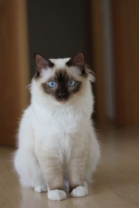 13 most Friendliest cat breeds in the world for the cat lovers