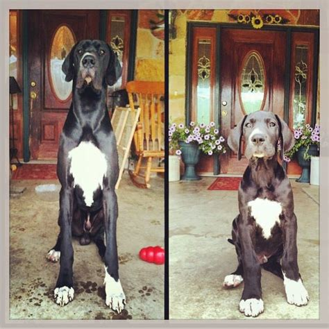 128 best images about Great Danes on Pinterest   Harlequin