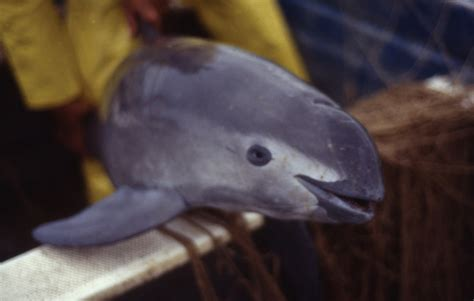 What is a Vaquita? | The Vaquita & the Totoaba