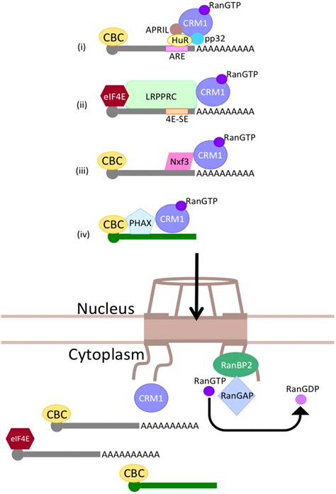 Genes   Special Issue : Mechanisms of mRNA Nuclear Export