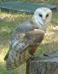 monkey-faced owl - Wiktionary