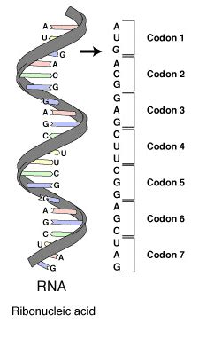 Nucleic Acids and Protein Synthesis; Outline - WriteWork