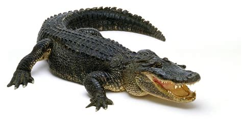 Alligator Pictures - Kids Search